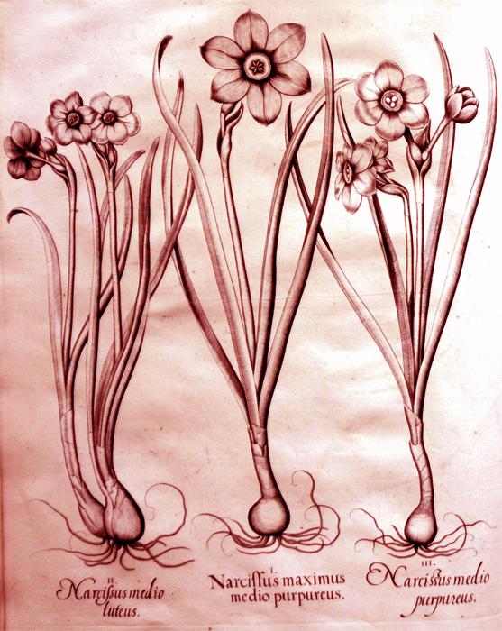 narcissus-maximus-medio-purpureus