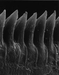 Faehrenkemper Froschlarve