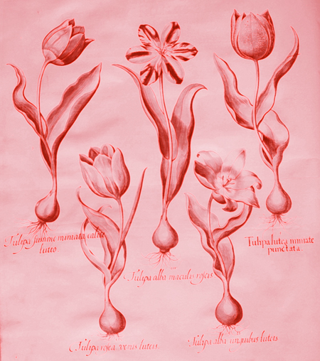 Tulpe1_M.Hartl.jpg