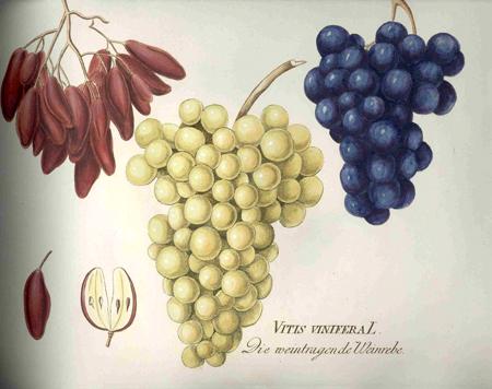 Plenck_Vitis-vinifera_300-DPI