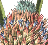 Ananasblüte
