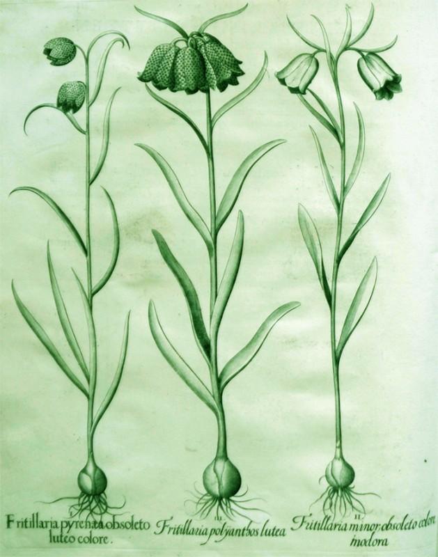 fritillaria-polyanthos-lutea
