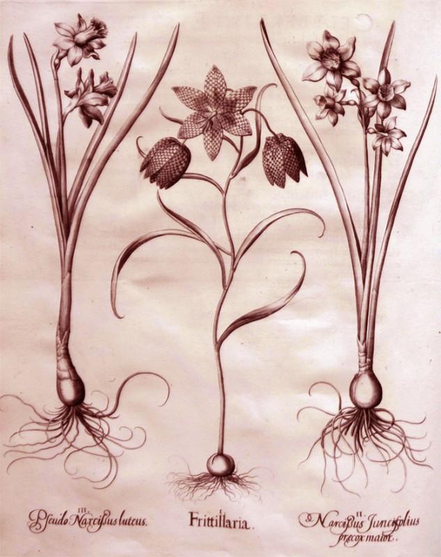 frittillaria