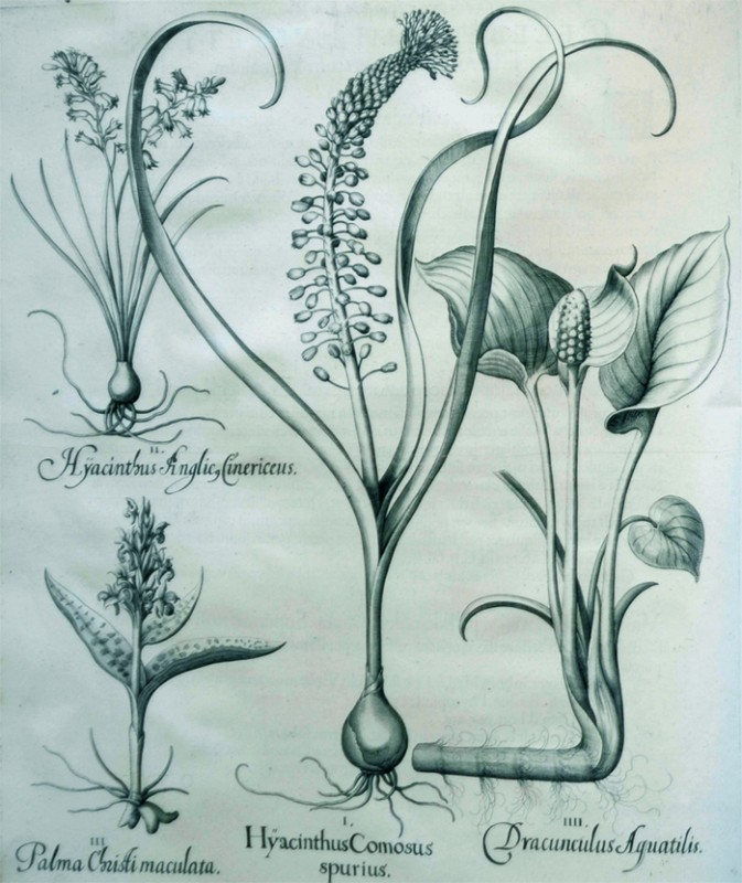 hyacinthus-comosus-spurius