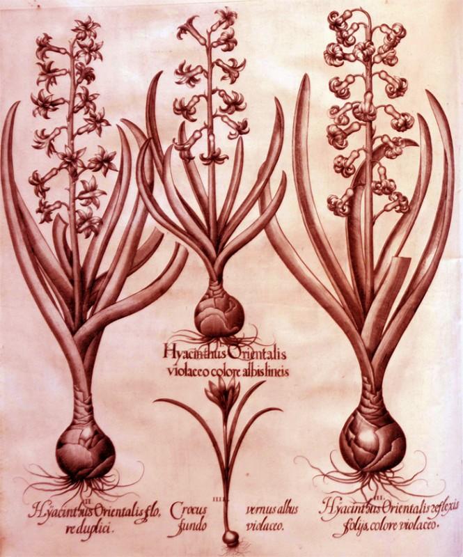 hyacinthus-orientalis