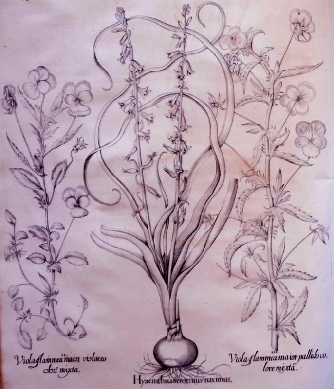 hyacinthus-serotinus-maximus