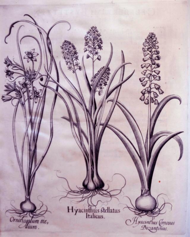 hyacintus-italicus-stellatus