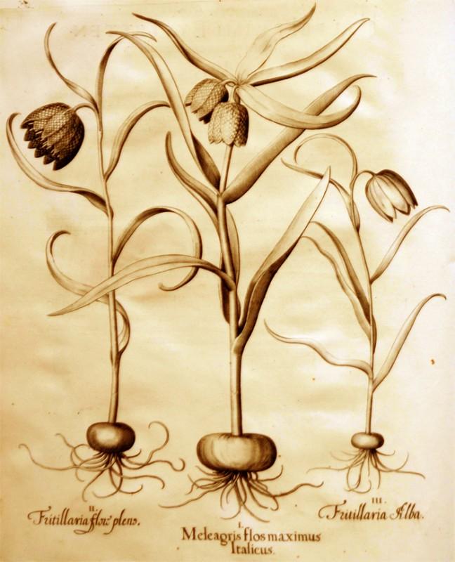 meleagris-flos-maximus-italicus