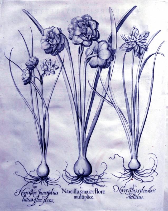 narcissus-maior-flore-multiplice