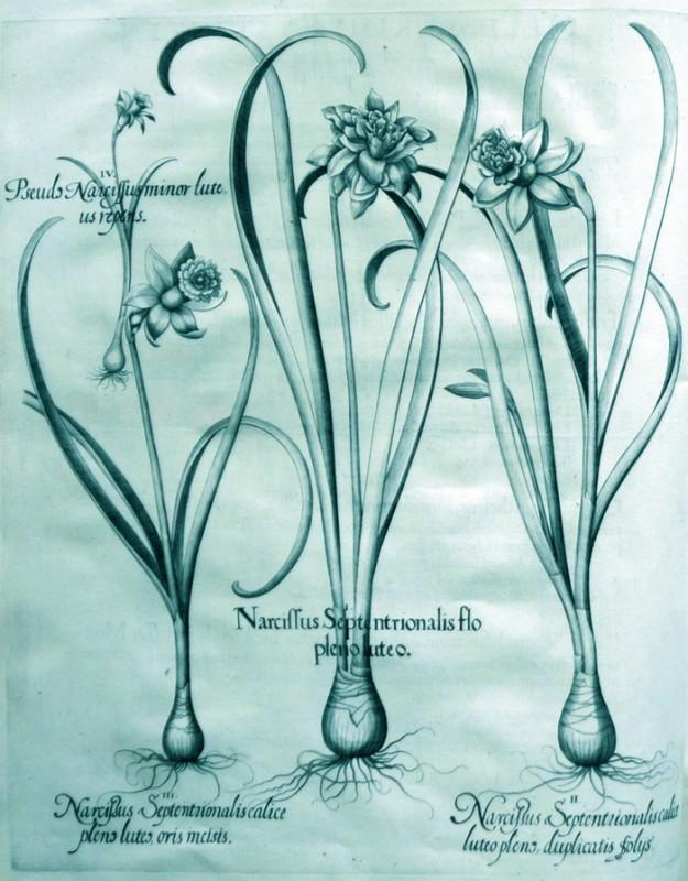 narcissus-septentrionalis-flore-pleno