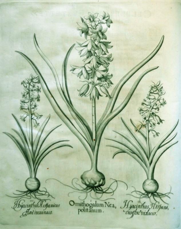 ornithogatum-neapolitanum