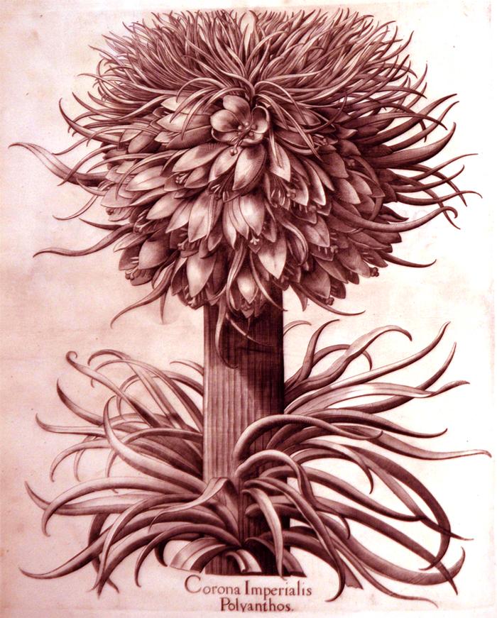 corona-imperialis-polyanthos