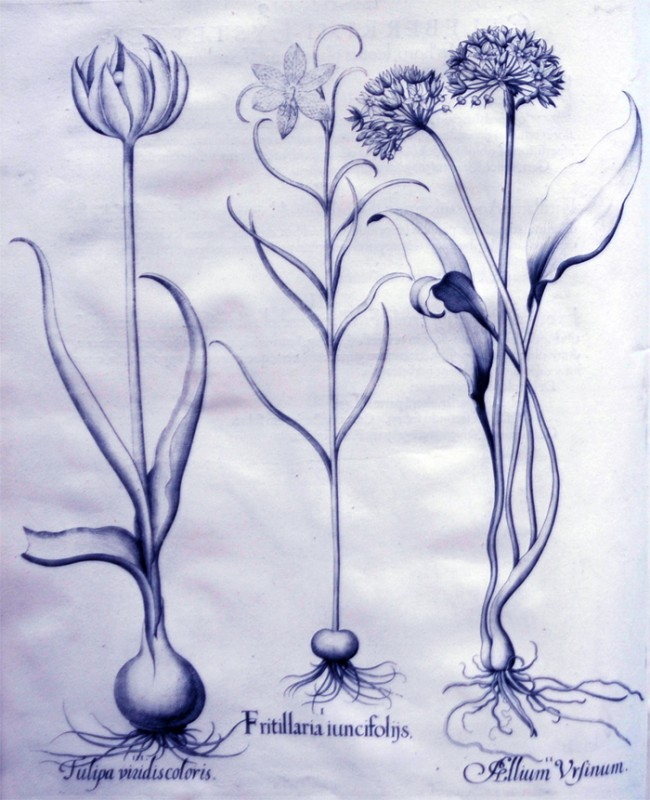 fritillaria-iuncifoliisjpg