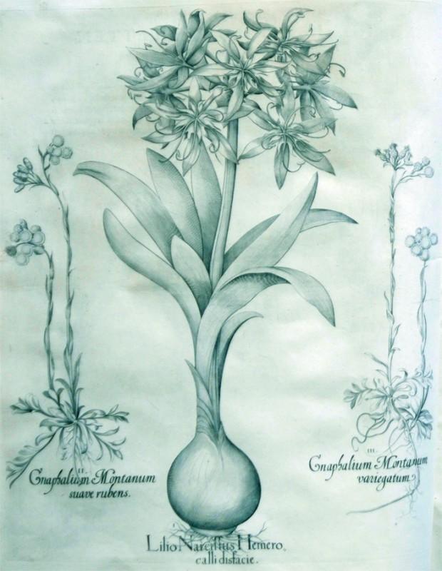 lilio-narcissus-hemero