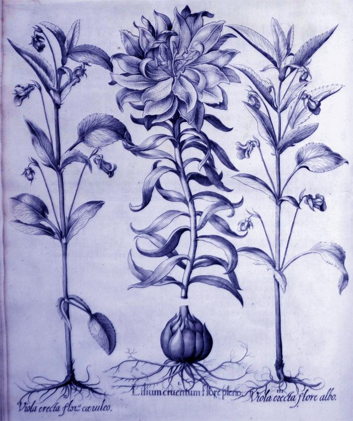 lilium-cruentum