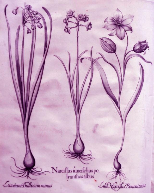narcissus-iuncifolius-polyanthos-albus