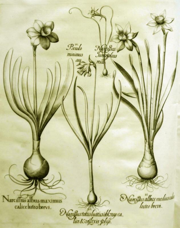 narcissus-luteus-oblongo-calice
