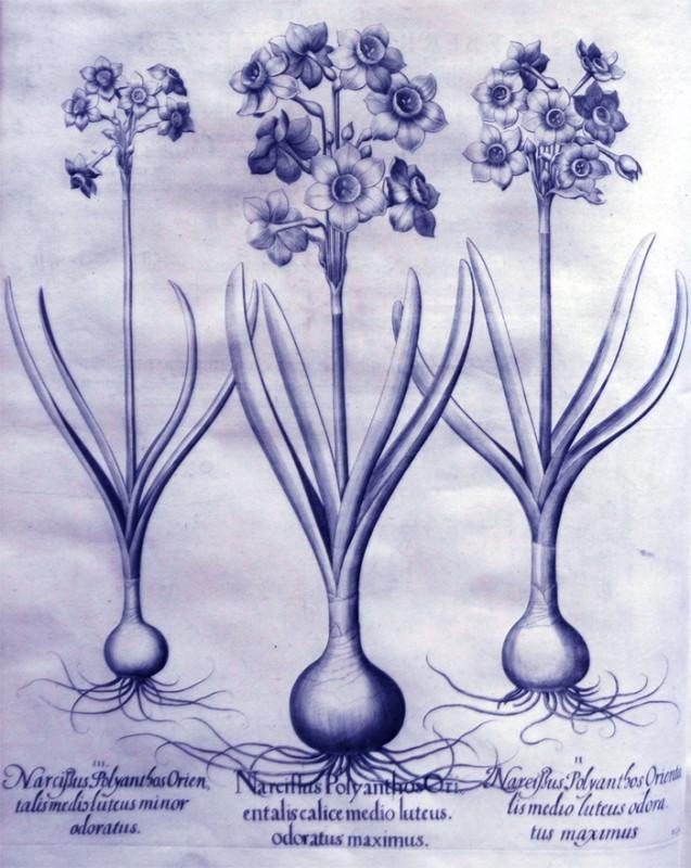 narcissus-polyanthos-orientalis-calice-medio-luteus-odoratus-maximus