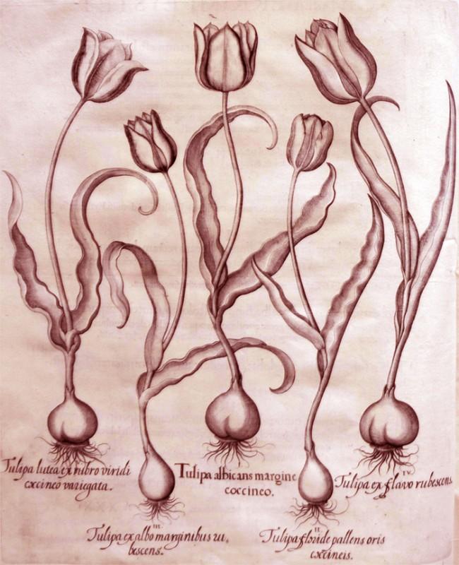 tulipa-albicans-margine-coccineo