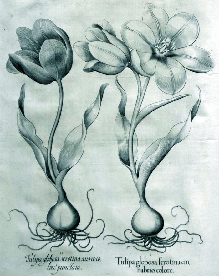 tulipa-globosa-serotina-connabrio-colore