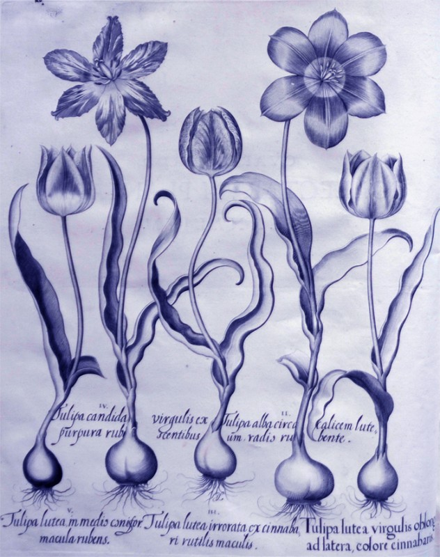 tulipa-lutea-irrorata-ex-cinnabari
