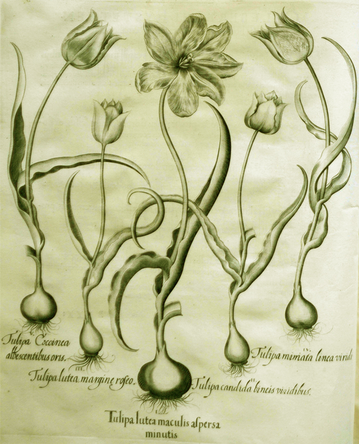 tulipa-lutea-maculis-aspersa