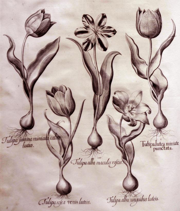 tulipa-lutea-minimate-punctata