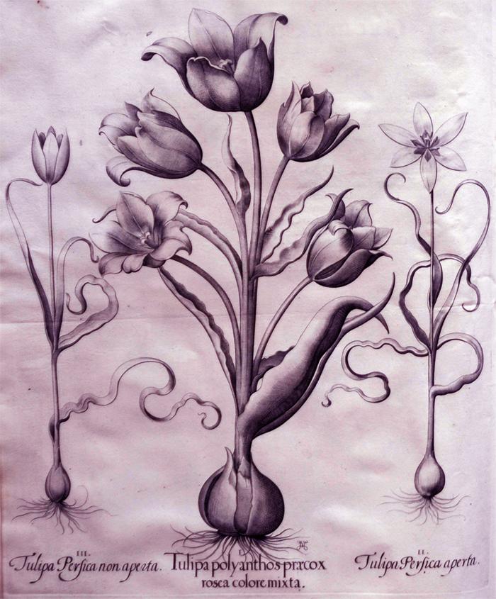 tulipa-polyanthos-praecox-rosea-colore-mixta