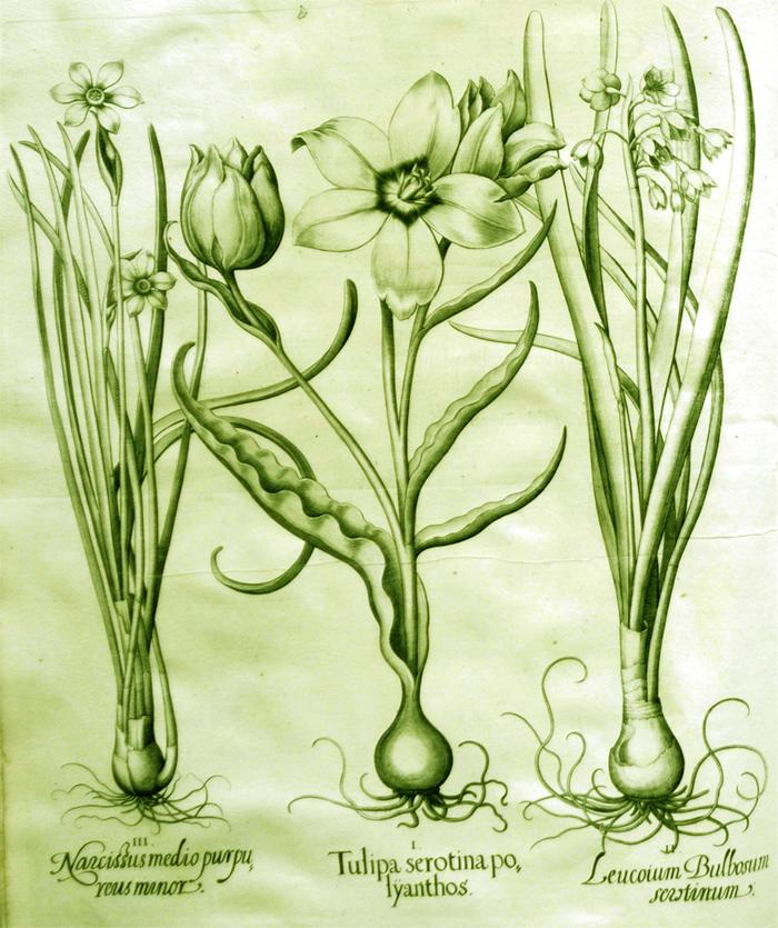 tulipa-serotina-polyanthos
