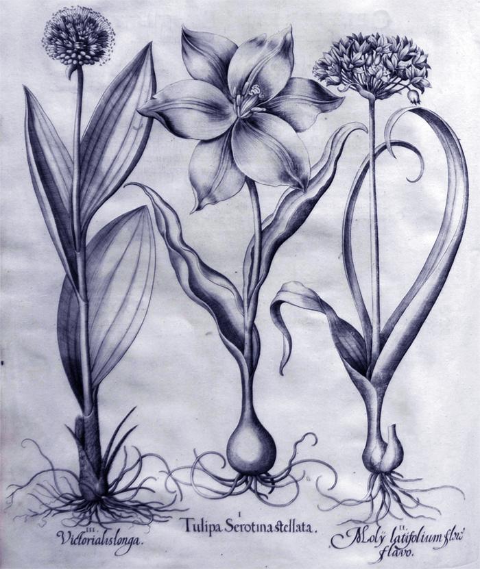 tulipa-serotina-stellata