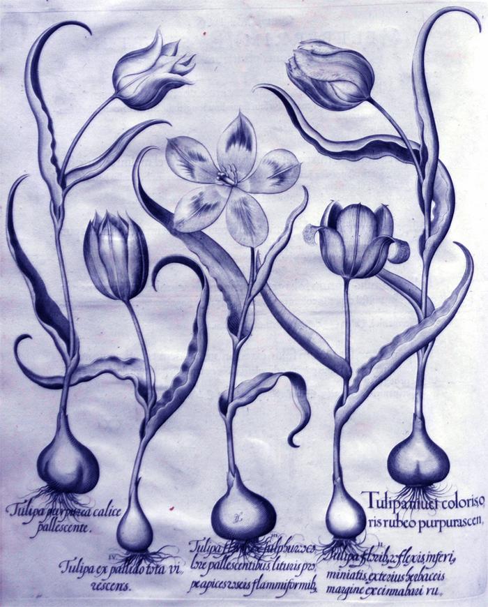 tulipacoloris-oris-rubeo-purpurascentibus