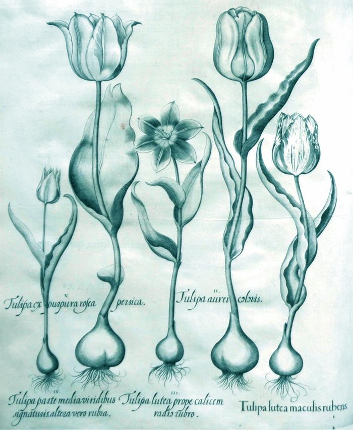 tulipea-lutea-maculis-rubens
