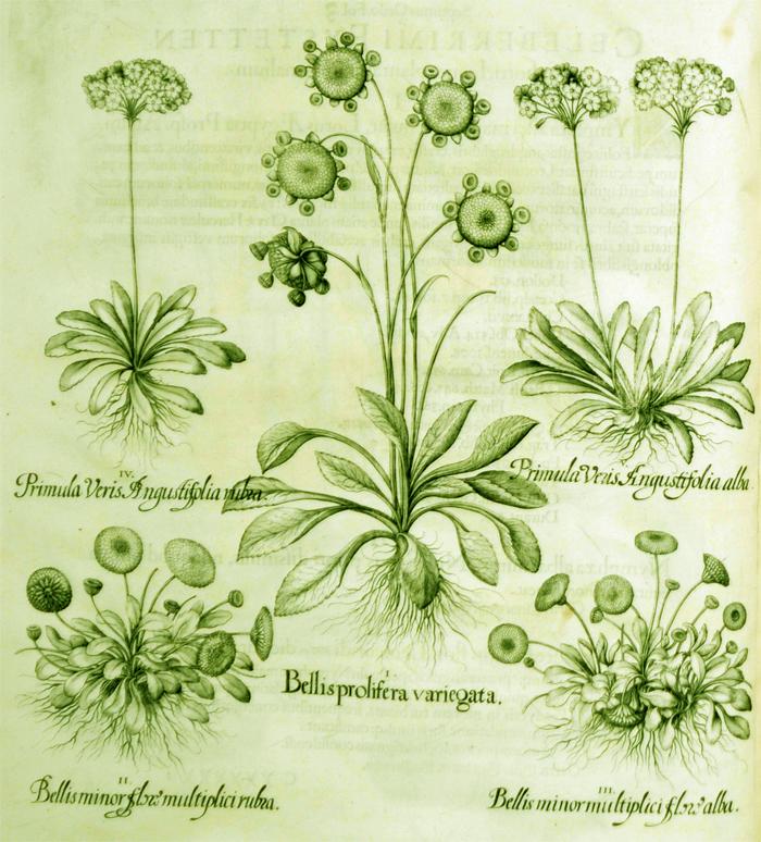 bellisprolifera-variegata