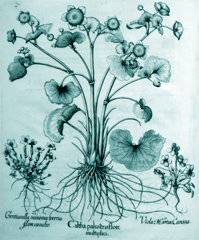 caltha-palustirs-flore-multiplici