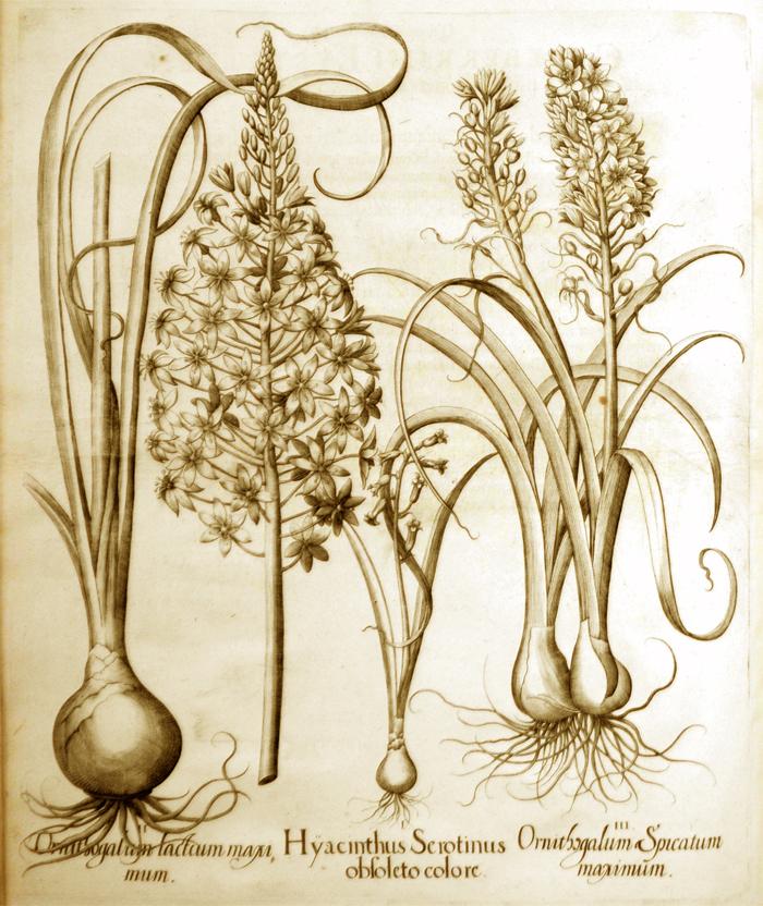 hyacinthus-serotinus-obsoleto-colore
