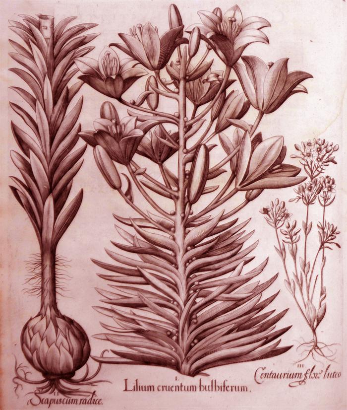 lilium-cruentum-bulbiferum