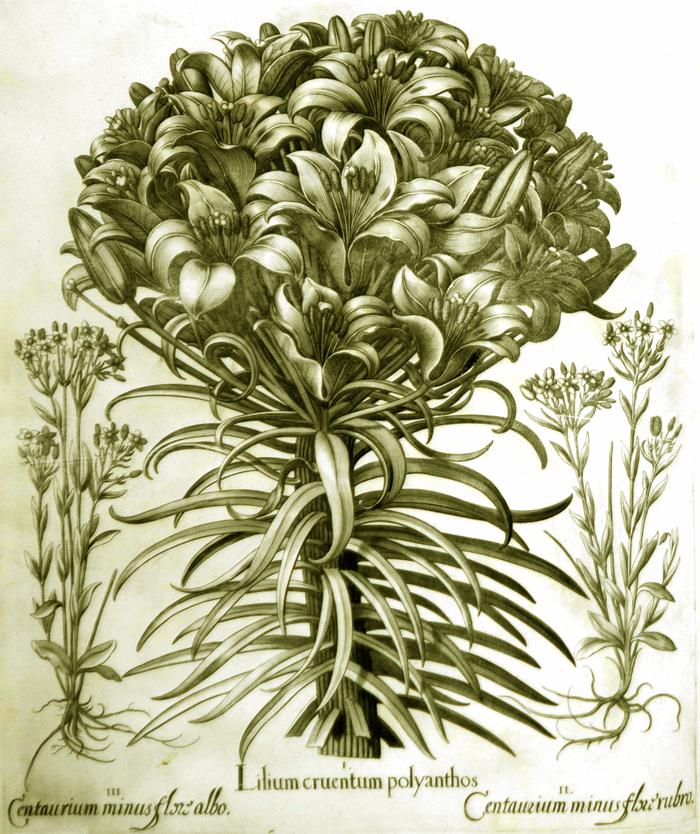 lilium-cruentum-polyanthos