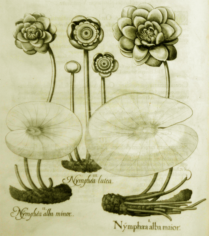 nymphaea-alba-maior