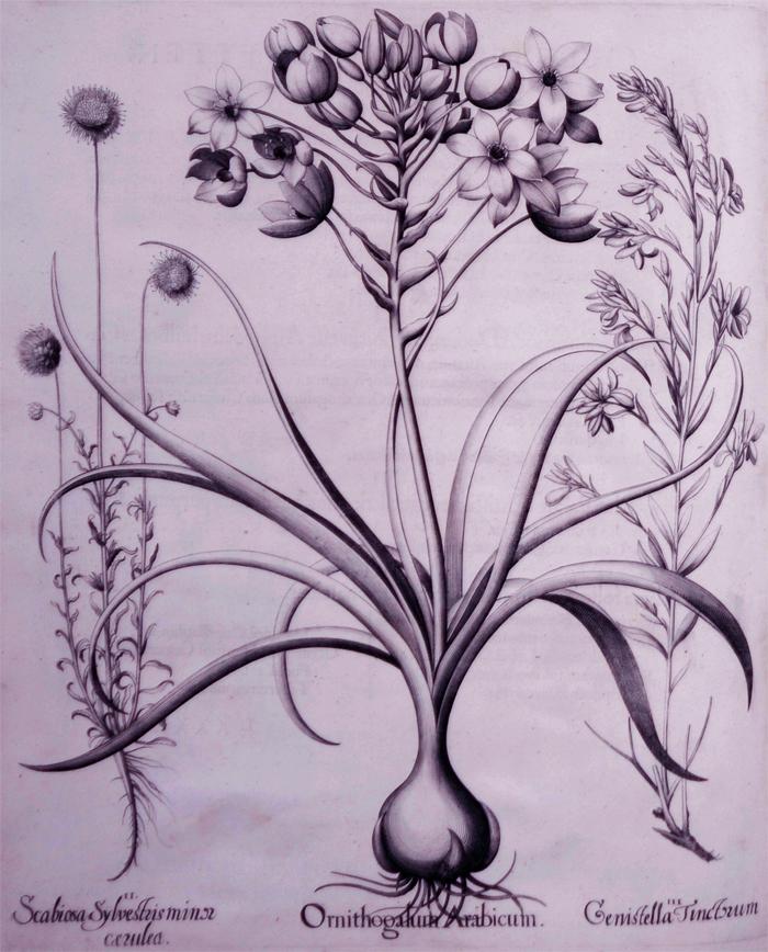 ornithogalum-arabicum