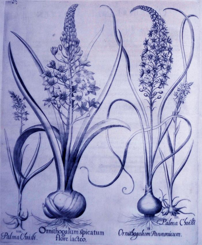 ornithogalum-spicatum-flore-lacteo