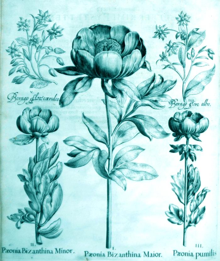 paeonia-bizanthina-maior