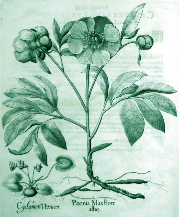 paeonia-mas-flore-albo