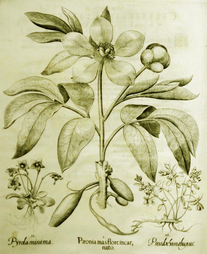 paeonia-mas-flore-incarnato