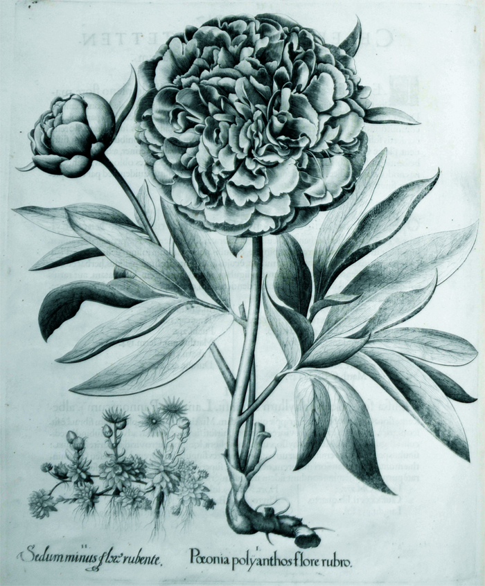 paeonia-polyanthos-flore-rubro
