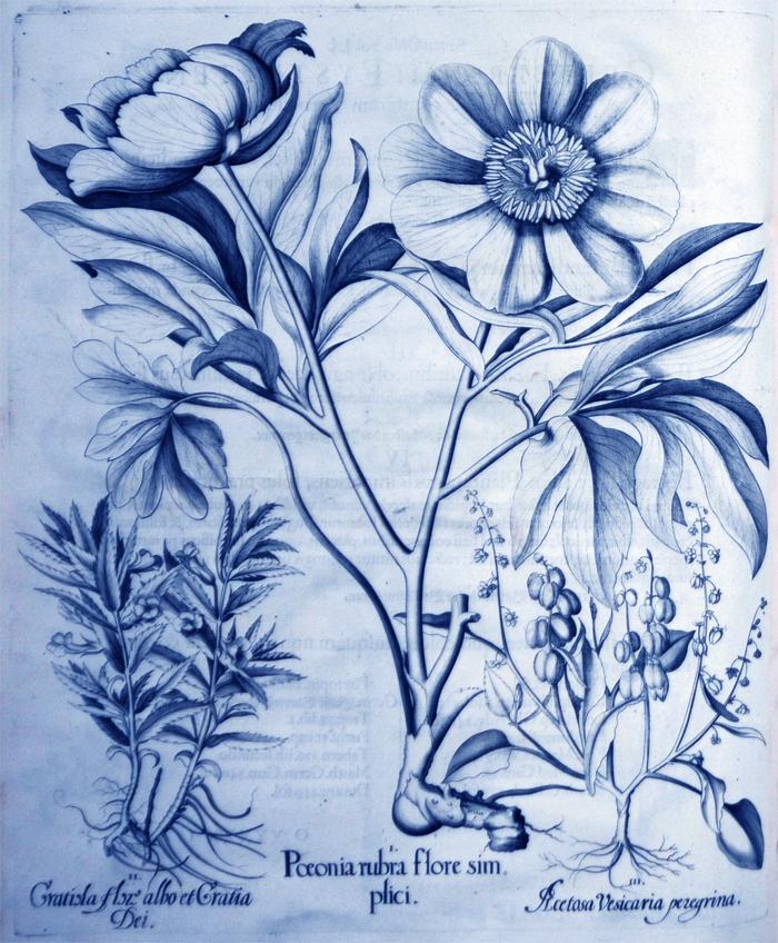 paeonia-rubra-flore-simplici