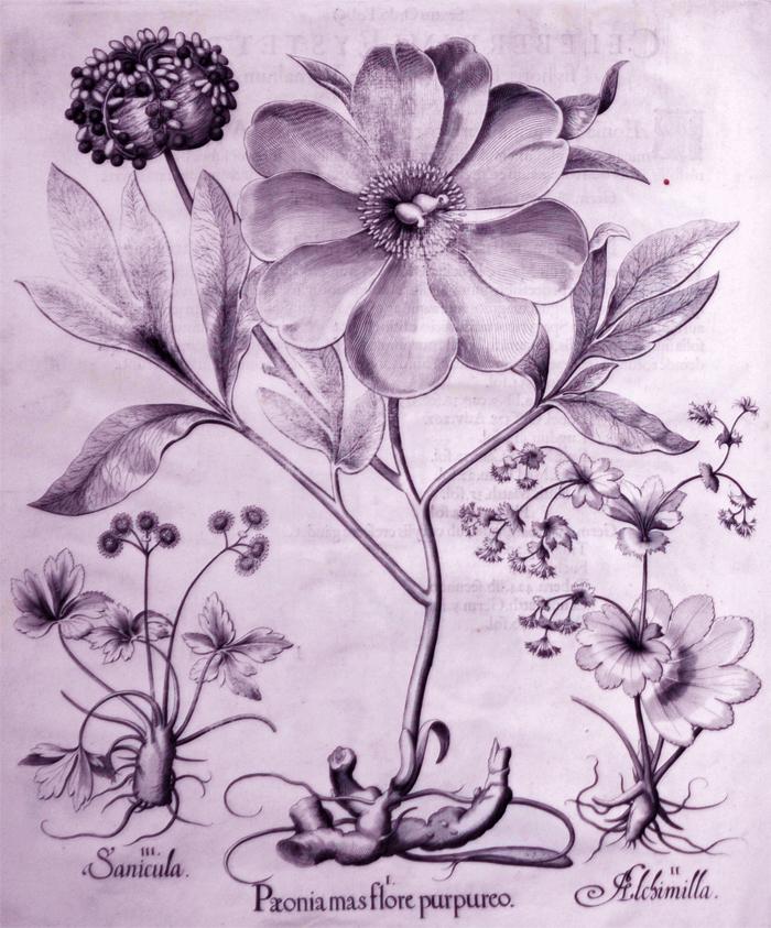 peonia-mas-flore-purpureo