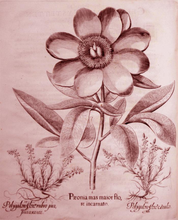 peonia-mas-maior-flore-incarnato