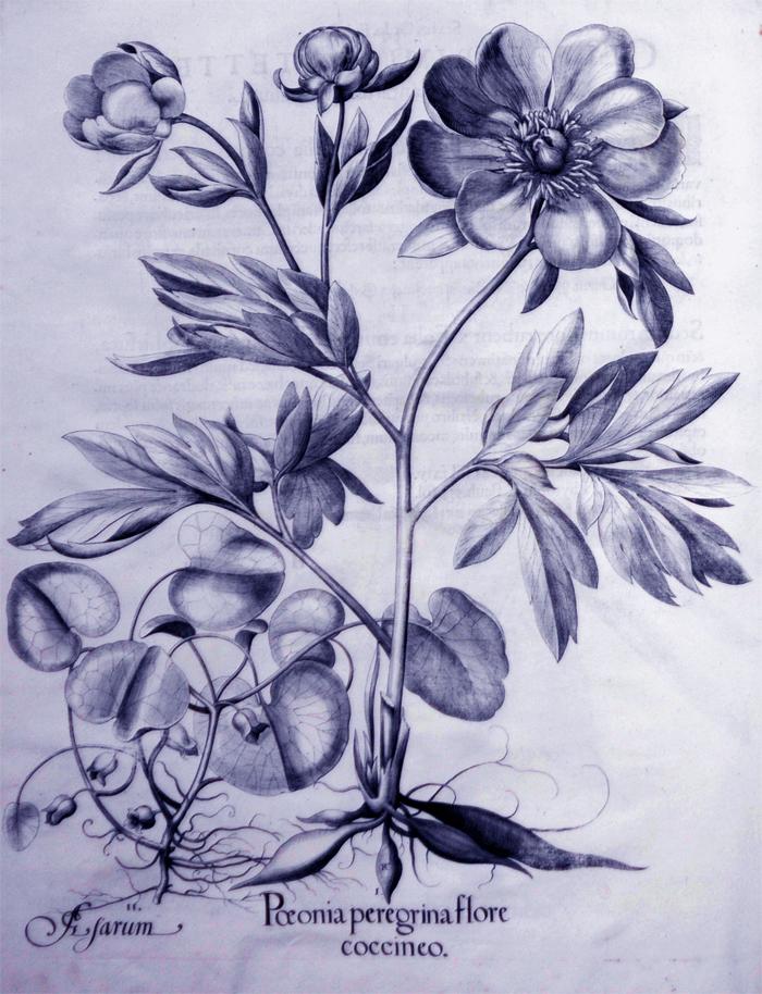 peonia-peregrina-flore-coccineo