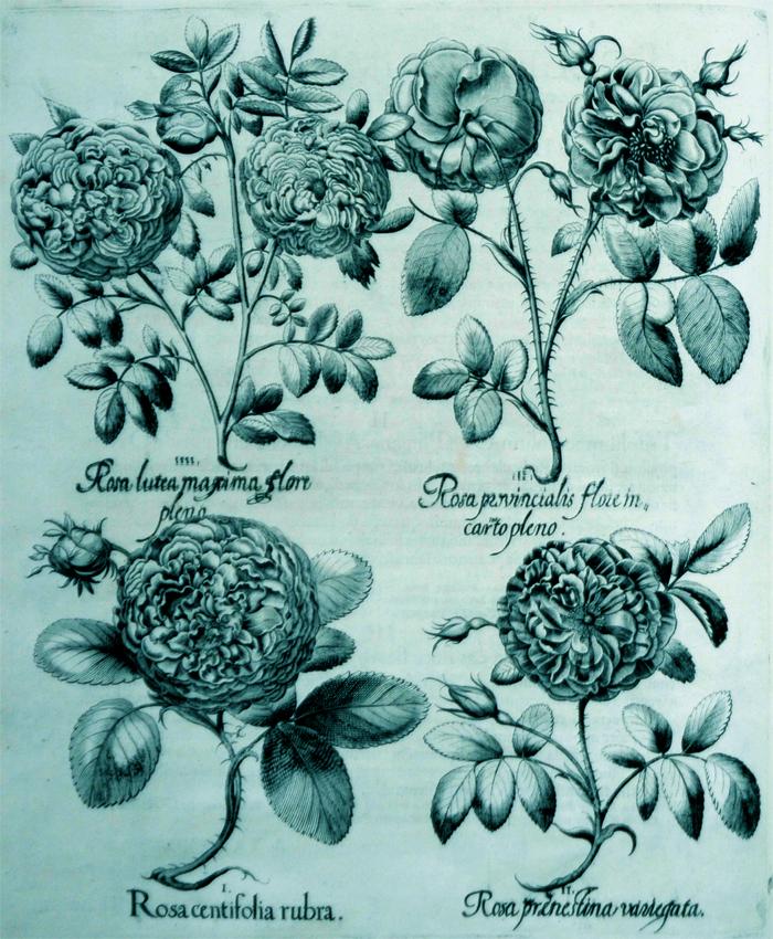 rosa-centifolia-rubra