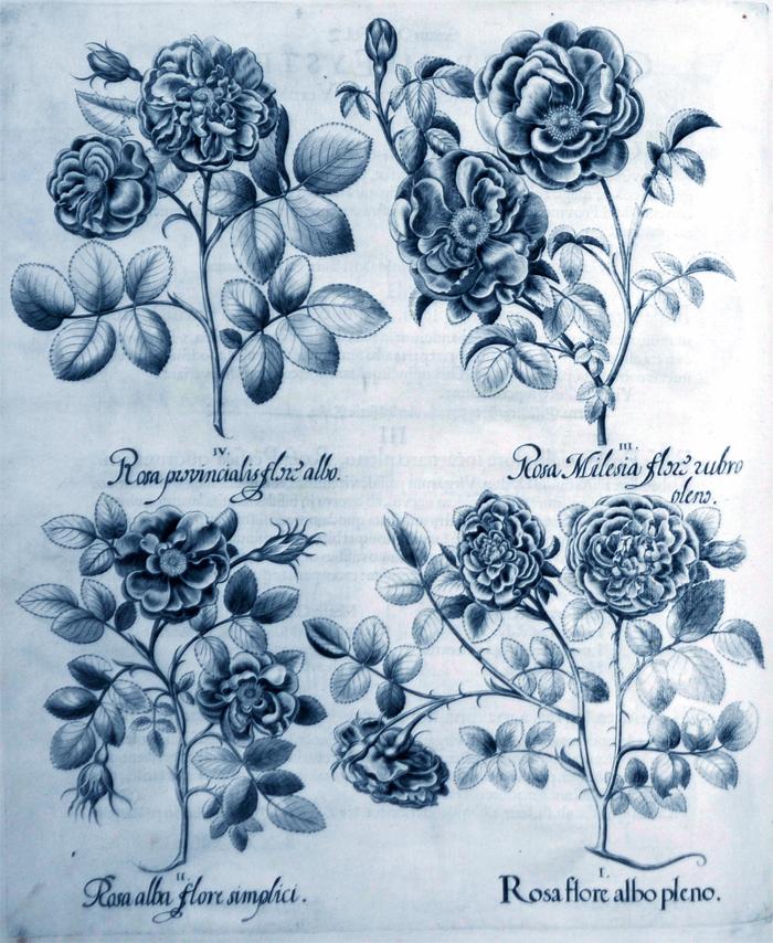 rosa-flore-albo-pleno